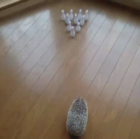 animals, bowling, hedgehog, Hedgehog GIFs