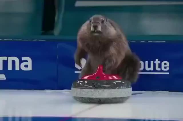 Watch and share Marmot Olympics GIFs by drjsfro on Gfycat