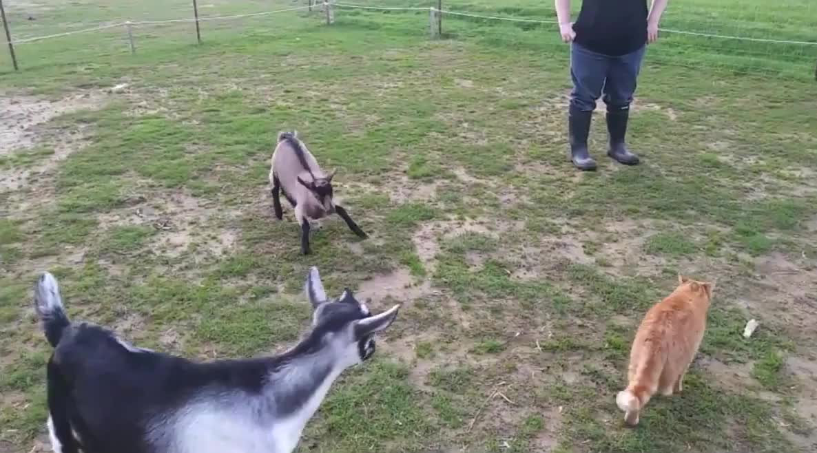 /r/goatgifs - video from Fermette Douce Sérénité GIFs