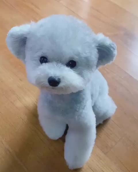 puppy, rare, silver, teddy, This silver toy poodle is half dog half teddy bear GIFs