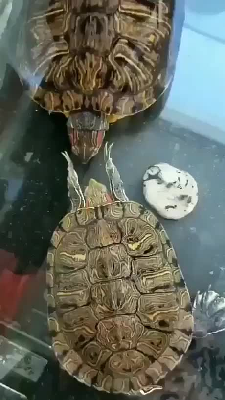 Watch and share Turtle Mad GIFs on Gfycat