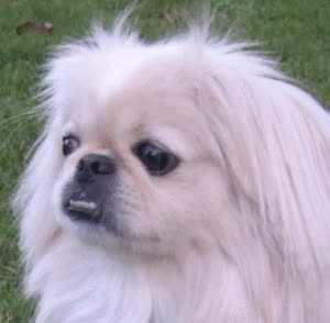 Watch and share Picture Of Laci Noelle ~ In Loving Memory, A Pekingese Dog On Dogster GIFs on Gfycat