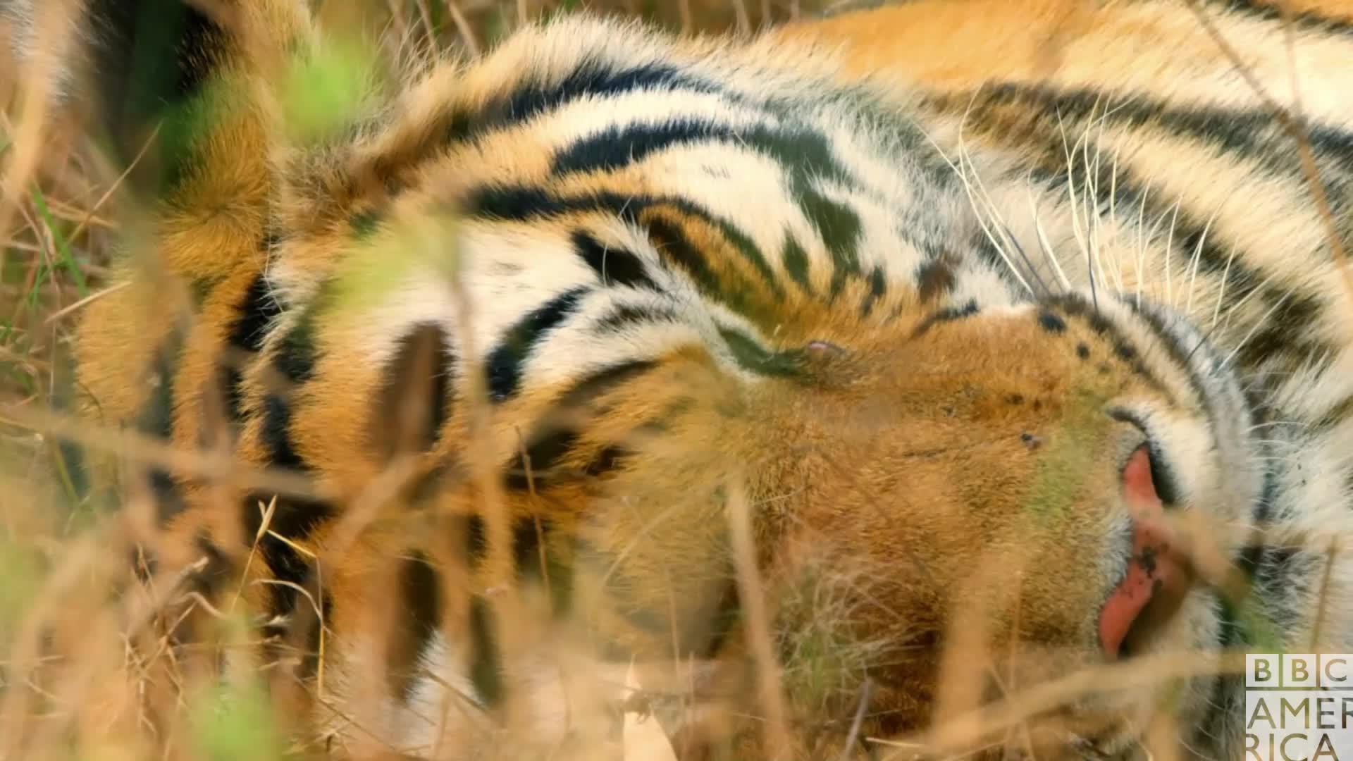 animal, animals, bbc america, bbc america dynasties, bbc america: dynasties, dynasties, sleep, sleepy, tiger, tigers, tired, zzz, Dynasties Raj Bhera Tiger Sleeping GIFs