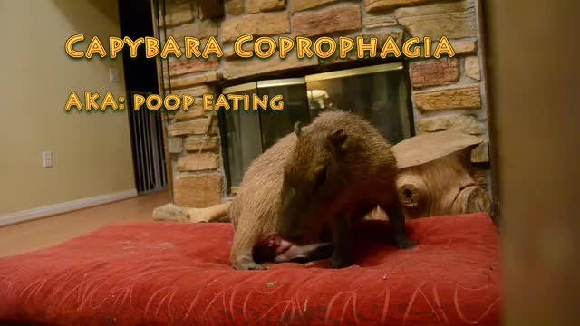 Watch and share Capybara GIFs by Crazy Cody's Creatures  on Gfycat