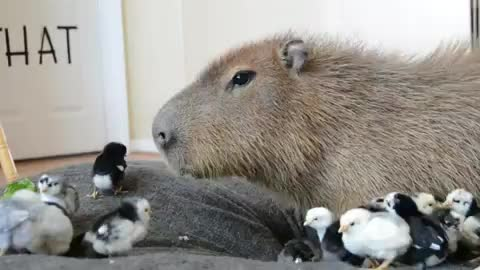 Watch and share Crazy Cody GIFs and Capybara GIFs by Crazy Cody's Creatures  on Gfycat
