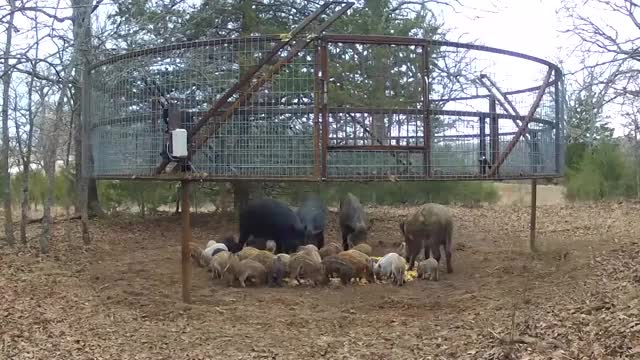 Watch and share Boar GIFs on Gfycat