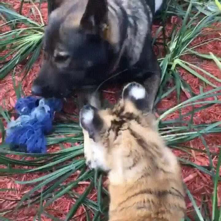 aww, eyebleach, Tiger playing tug of war with a dog GIFs