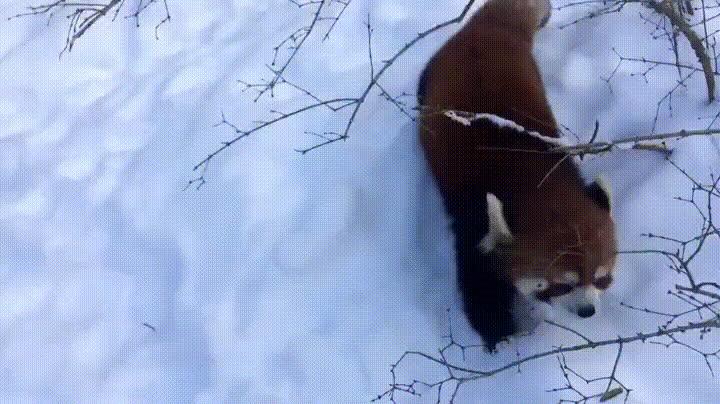 animal, animals, red panda, red panda GIFs