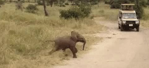 Watch and share Baby Elephant Scampering [Video] GIFs on Gfycat