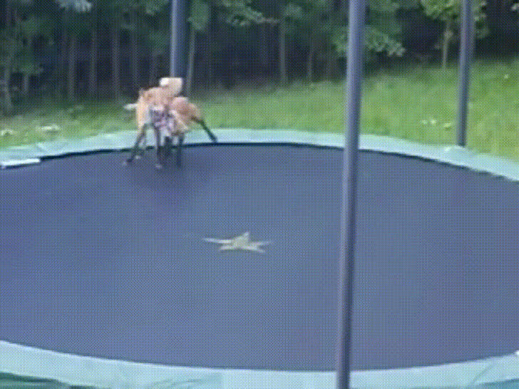 Foxes jump on trampoline GIFs