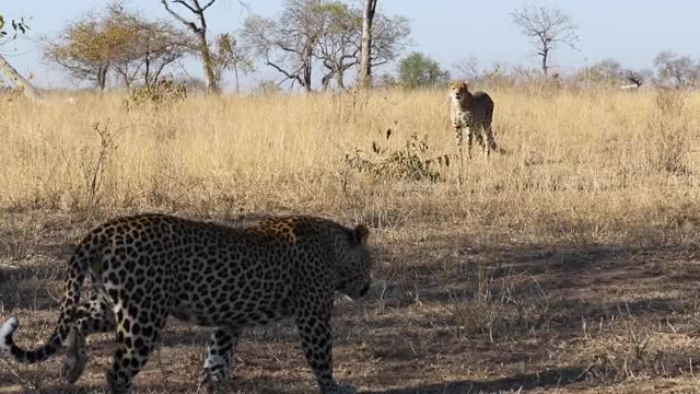 Watch and share Gif GIFs by Londolozi Game Reserve on Gfycat