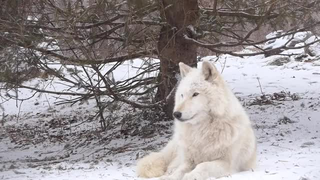 Watch and share Wolf Howling GIFs and Snow Wolf GIFs on Gfycat