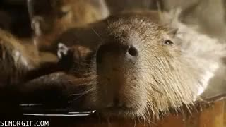 Watch and share Capybaras Spa GIFs on Gfycat