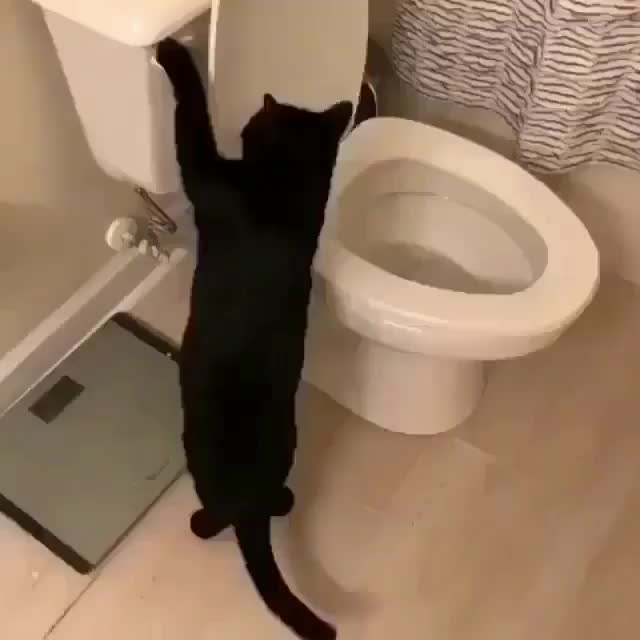Cat hypnotized by the flushing of a toilet GIFs