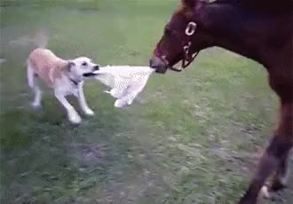 Watch and share Dog Plays Keepaway From Horse GIFs on Gfycat