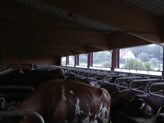 En ko tittar in i kameran. Bakom syns betonggolv, liggande kor i bås och en vacker sommardag utanför fönstret