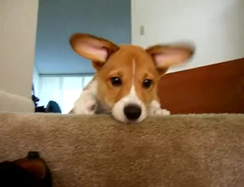 Watch and share Sad Corgi Puppy After Toy Falls Down Stairs. GIFs on Gfycat