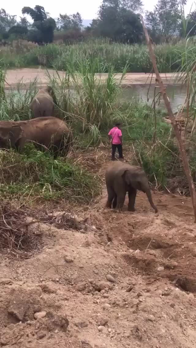 Watch Thailand Baby Elephant GIF by PM_ME_STEAM_K3YS (@pmmesteamk3ys) on Gfycat. Discover more related GIFs on Gfycat