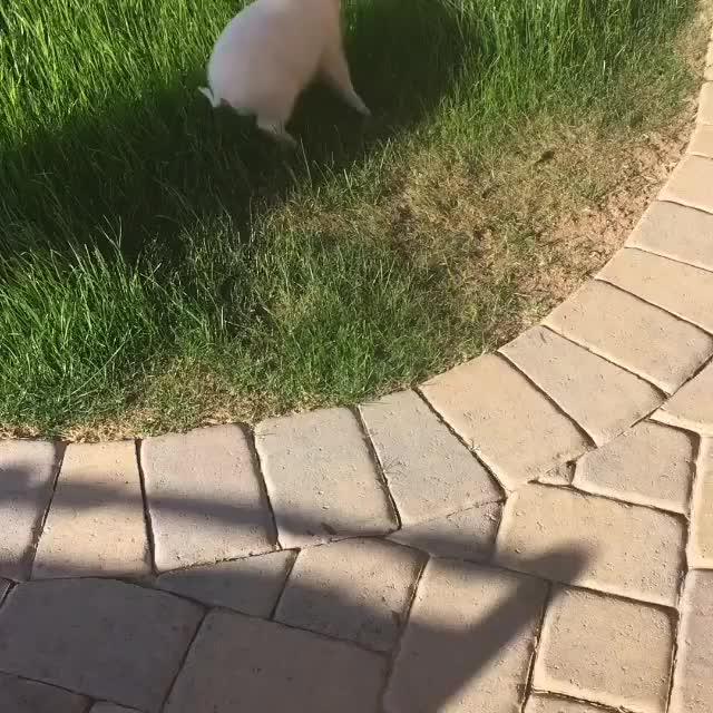 Watch and share Zoomies GIFs and Pigifs GIFs by ShaneH7646 on Gfycat