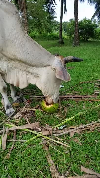 Watch and share A Cow Eating A Coconut In The Philippines GIFs on Gfycat