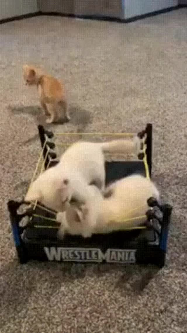 Watch and share Gatitos Lucha Libre GIFs on Gfycat