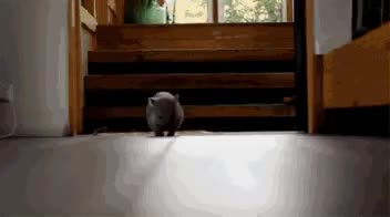 Watch Baby Wombat. Voat Rocks! GIF on Gfycat. Discover more aww, voat, voat_goat GIFs on Gfycat