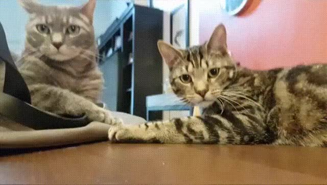 Watch this cats GIF by Smilodon-fatalis (@raidersofreddit) on Gfycat. Discover more cats, funny GIFs on Gfycat