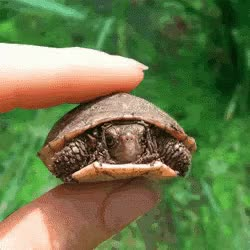 Watch and share Cute Turtle GIFs on Gfycat