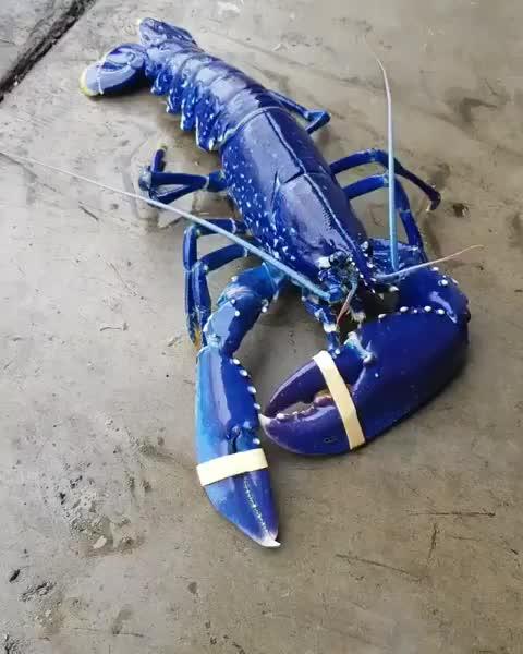 Discover Ocean, Rare blue lobster GIFs