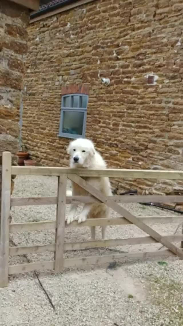 Watch and share Italian Maremma Sheepdog Makes A Loving Offer One Can't Refuse - Imgur GIFs on Gfycat