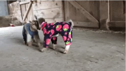 goats, goats in pajamas GIFs