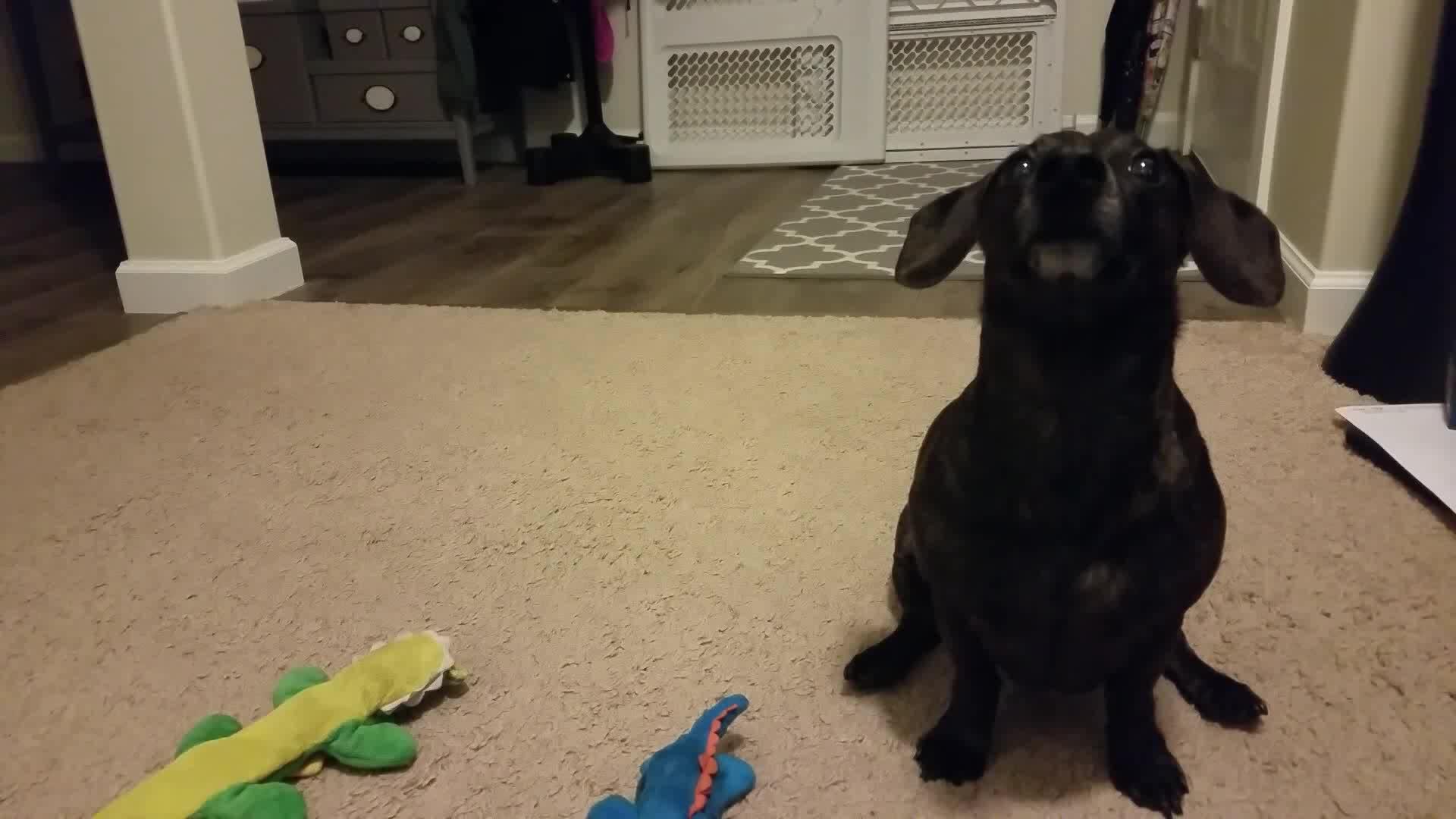 dachshund, teckel, tippytap, weinerdog, Howitzer Demands GIFs