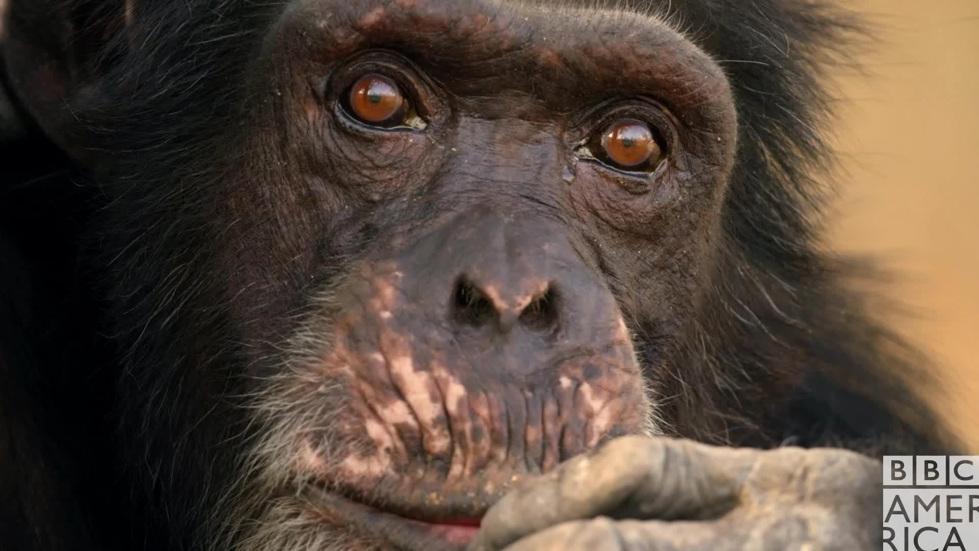 animal, animals, bbc america, bbc america dynasties, bbc america: dynasties, chimp, chimpanzee, chimpanzees, chimps, dynasties, Dynasties Chimp Thinking Hmm GIFs