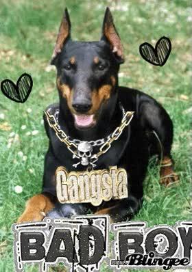 Watch Gangsta Doberman GIF on Gfycat. Discover more related GIFs on Gfycat