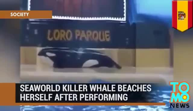 Watch SeaWorld killer whale: Morgan, orca who was once free, beaches herself after performing - TomoNews GIF on Gfycat. Discover more related GIFs on Gfycat