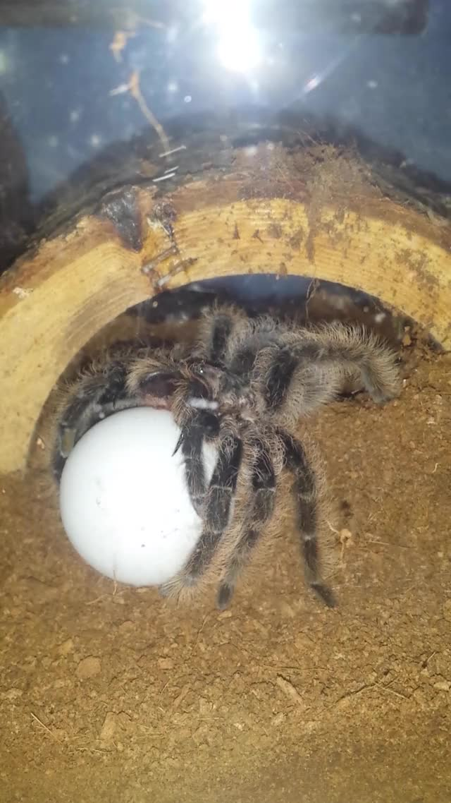Watch and share Tarantulas GIFs and Awwnverts GIFs on Gfycat