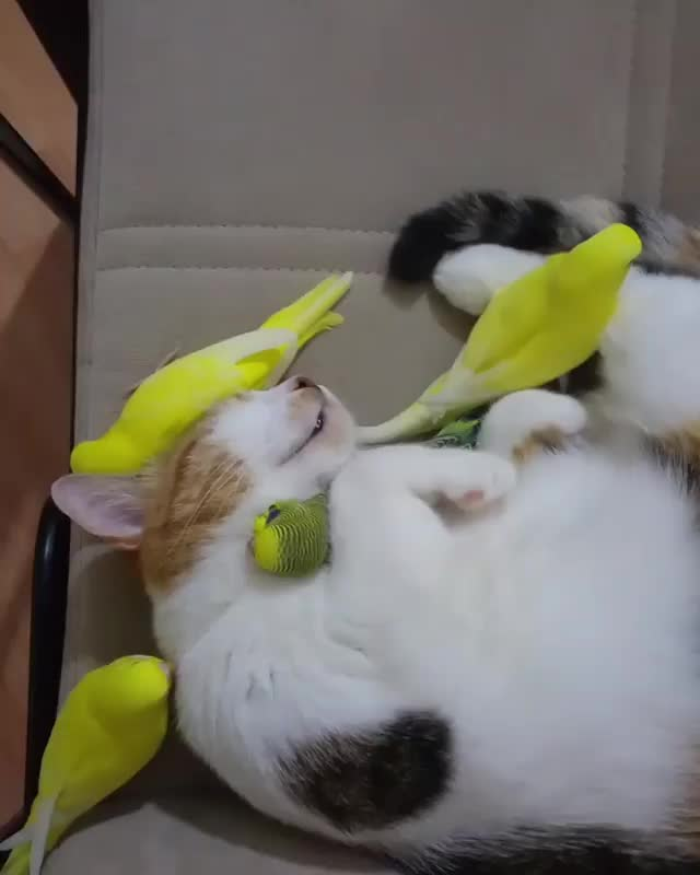 Watch and share Kitty Achieves Budgie Nirvana GIFs by gretta on Gfycat