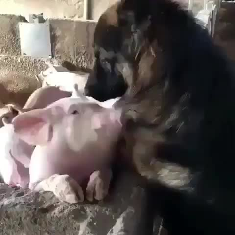 dog, endspeciesism, pig, pigs, Which one do you want to kill and eat? Repost from @yazminluv_ using @RepostRegramApp - Why is it okay to love one and eat the other? Select GIFs
