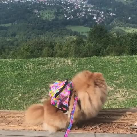 Watch and share Teacuppuppy GIFs and Pomeranian GIFs by Олеся on Gfycat