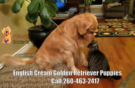 English Cream Golden Retriever Puppies For Sale Gif By Indiana
