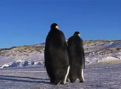 Watch and share Emperor Penguin GIFs and Penguins GIFs on Gfycat