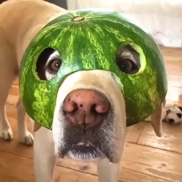 Watch and share Watermelon GIFs and Dog GIFs by notmyproblem on Gfycat
