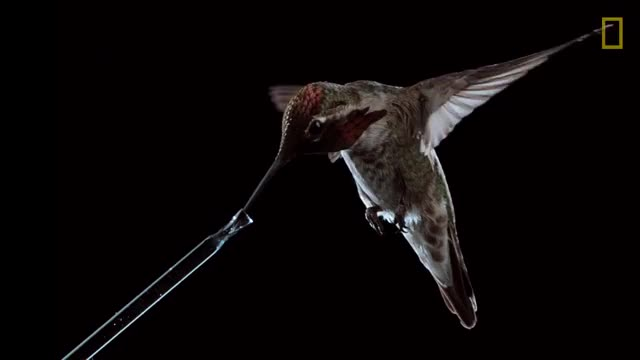 Watch See Hummingbirds Fly, Shake, Drink in Amazing Slow Motion | National Geographic GIF on Gfycat. Discover more Hummingbirds, Natgeo, SCIENCE, Survival, animals, birds, discover, documentary, explore, fastest, flying, metabolism, nature, photographer, plivjpdlt6aprfqqtrw7jkgclvezgembb2, plivjpdlt6apribhpsyxwg22g8rpnz6jlb, plivjpdlt6aptjurxykshuuqp7lqcj9s8s, shake, slow-motion, wings GIFs on Gfycat