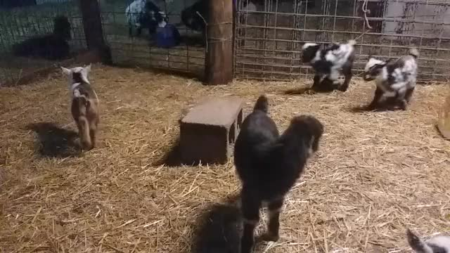 Watch and share Goat Parkour GIFs and Goats GIFs by KNS Farm on Gfycat