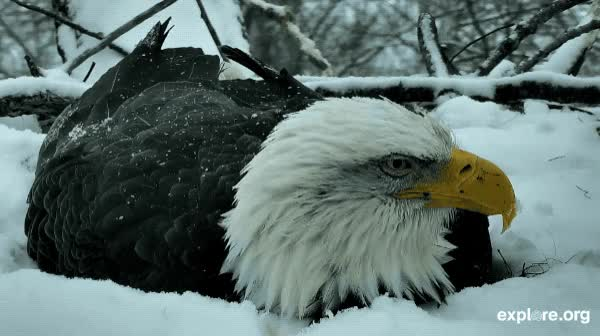 Watch Mama Eagle Braves The Snow! GIF by Explore.org (@exploreorg) on Gfycat. Discover more animal, animal live cam, animal livecam, baby animal, daily dose of love, dailydoseoflove, explore, explore.org, exploreorg, live cam, livecam, love, nature, nature livecam, organic, pure GIFs on Gfycat
