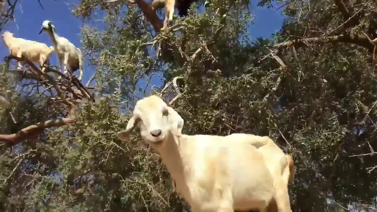 r/sciences, Tree-Climbing Goats: Argan  trees produce a fruit that the goats crave  🐐This tree is endemic to GIFs