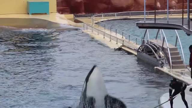 Watch and share Killer Whale GIFs and Marineland GIFs on Gfycat