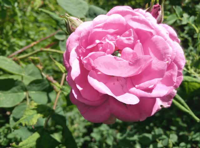 Watch this rose GIF by @olegst on Gfycat. Discover more flowers, insects, rose, roses GIFs on Gfycat