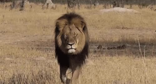 Watch this lion GIF on Gfycat. Discover more animals, cub, lion, lioness, lions GIFs on Gfycat