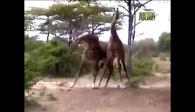 Giraffes Fighting! Giraffe Battles! GIFs